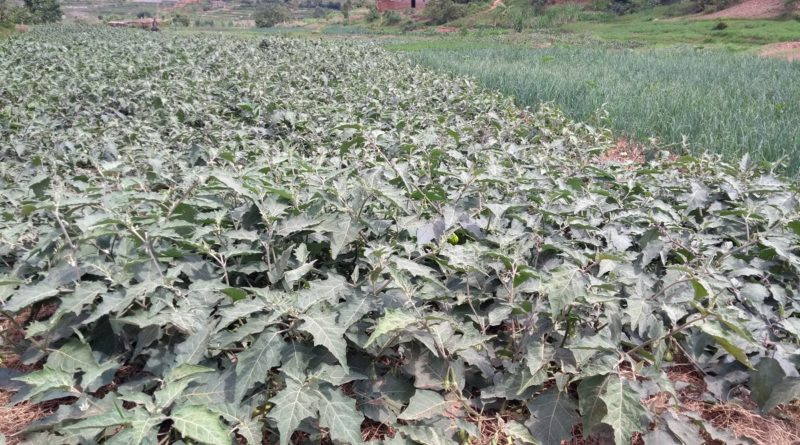 Farmers In Rulindo Smile As They Benefit From Hillside Irrigation