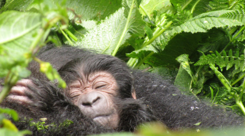 From tragedy to fragile success: protection efforts move mountain gorillas a level further from extinction