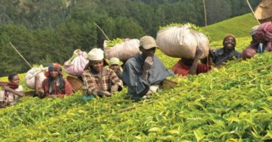 Tea Plantation workers in Kenya