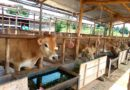 Why farmers in Eastern Province Rwanda are encouraged to adopt Jersey cattle breed