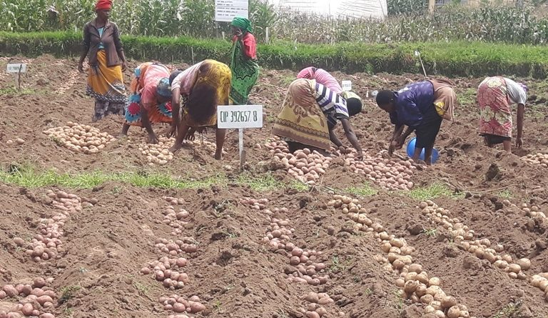Rwandan farmers to benefit from new released Irish potato varieties